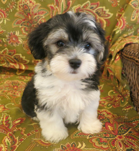 Sale for Havanese florida puppies in